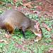 Animal dans le parc brésilien d'Iguaçu