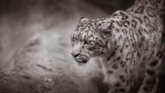 leopard (gilles.chaulet) Tags: blackandwhite bw monochrome animal feline noiretblanc 10 weekend leopard animaux tarn octobre carnivore 81 flin 2015 tch d3s zoodes3valles