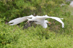 Great Egret in Flight 4-30-2016-2 (Scott Alan McClurg) Tags: life wild white bird nature animal back spring backyard wildlife neighborhood landing ardea land greategret naturephotography ardeidae aalba