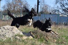 The jump (mikros.anthropos) Tags: action jumping jump sprung fili dog hund crossbreed mix mutt mischling tier animal husky australianshepherd bordercollie nikond3300 outdoor berlin hollandseherdershond