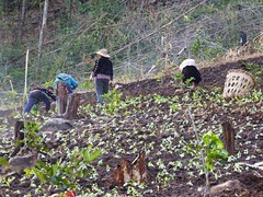 2D1N Mae Taeng Trek, Thailand (Jan-2016) 07-058 (MistyTree Adventures) Tags: people field thailand asia seasia farmers outdoor seedlings hmong hilltribe maetaeng