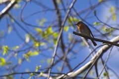 Txantxan (Ru GarFer) Tags: parque natural ave rbol pjaro petirrojo aia guipzcoa gipuzkoa txantxangorri pagoeta txoria
