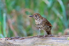 Olive Tailed Thrush (Graham Mahoney) Tags: canon is 300mm ii f28 1dmarkiv 1dm4