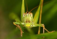 Katydid (DrPhotoMoto) Tags: northcarolina katydid richmondcounty