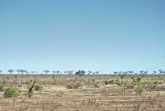 South african giraffe (Giraffa camelopardalis) (delimaaaaaaaaa) Tags: africa trip southafrica safari viagem krugerpark reserva gamereserve safri fricadosul