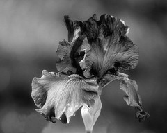 Blue Be Gone (brev99) Tags: iris blackandwhite flower bokeh d7100 ononesoftware tamron180f35 perfectphotosuite9
