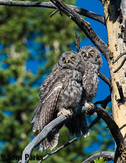GG54 (Sam Parks Photography) Tags: trees wild summer usa baby bird nature animal forest rockies spring wings woods nest nps wildlife unitedstatesofamerica ghost feathers young meadow aves raptor northamerica rockymountains wyoming greatgrayowl phantom predator juvenile carnivorous naturalworld jacksonhole avian fledgling offspring tetonrange parkservice strigiformes grandtetonnationalpark predatory strixnebulosa gye nestling mountainous owlet carnivora strigidae gtnp fledge verticalorientation greateryellowstoneecosystem carniore
