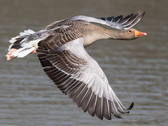 Greylag Goose - Anser anser (normanwest4tography) Tags: nature canon inflight sigma goose waterfowl wildbirds greylaggoose aquaticbird sigma500f45 canon7d2