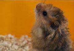 Hamster (yafit770) Tags: orange pet cute animal fur nose whiskers hamster