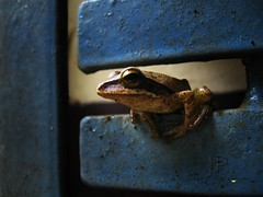 Unexpected Visitor (jyothis.m.thomas) Tags: blue brown metal frog blackstripe