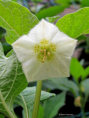 Physalis alkekengi ( fiore/flower) (Marco Ottaviani on/off) Tags: plants flower nature canon berries natura fiore bacche physalis solanaceae piant alkekengi marcoottaviani