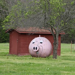 Propane Piggy (OakleyOriginals) Tags: pink oklahoma face pig tank painted gas swine snout propane