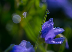 Morgen April 2016_003schtART (schtART) Tags: morning blue flower macro green schweiz early drops nikon zuhause wiese lila gras tau grn blau makro morgen garten tropfen morgentau violette sigma105mm