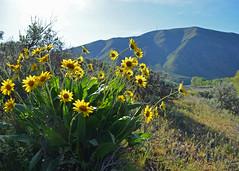 DSC_Hooker's Balsamroot - Copy (futzr.fotoz) Tags: flowers yellow river spring canyon yakima hookers balsamroot