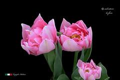 I COLORI DELLA NATURA. (Salvatore Lo Faro) Tags: verde nature nikon rosa natura fiore rosso bianco salvatore bellezza tulipano 7200 lofaro