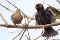 Brown-headed Cowbirds (Lois McNaught) Tags: bird nature spring outdoor wildlife avian brownheadedcowbird hamiltonontariocanada