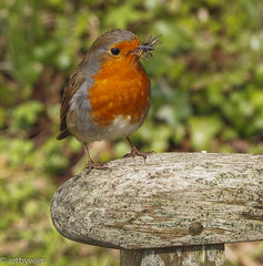 Lunchtime (Artbywigs) Tags: nature robin birds outdoors sussex woods feeding wildlife wigs woodsmill sussexwildlifetrust 23april2016 artbywigs