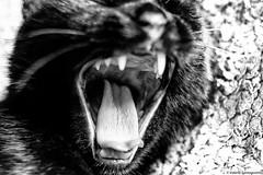 The black cat (Valerio Santagostino) Tags: blackandwhite black cat blackcat blackwhite feline chat noir fear evil blac panther gatto bianco nero bianconero pantera theblackcat blancnoir