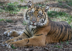 He's a Charmer (Penny Hyde) Tags: cub bigcat jaguar sumatrantiger safaripark flickrbigcats