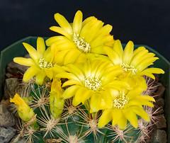 Weingartia flowers (J_Richard_Link) Tags: cactus plant flower nature yellow canon eos flora flickr availablelight naturallight macroflower weingartia eos7d