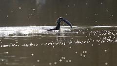 It's too big for you !!!     [ in Explore ] (carlo612001) Tags: fish fishing cormorant pesca pesce pescare cormorano parcolatorbiera