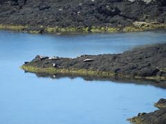 Sunbathing Seals, Plockton, April 2016 (allanmaciver) Tags: west island coast lazy lie seals plockton sunbathing allanmaciver plockton2016