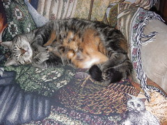 ** Un dernier dodo chez-moi ** (Impatience_1) Tags: pet animal cat chat tisha m minou impatience coth bête animaldecompagnie supershot kittysuperstar kittyschoice fabuleuse catmoments 100commentgroup coth5 ruby10 ruby15 sunrays5 ruby20