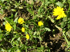 (Psinthos.Net) Tags: flowers winter light sunlight nature countryside day january ground yellowflower soil greens wildflowers noon pollen wildflower yellowflowers sunnyday  orangeflowers    psinthos