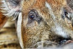 DSC_0015 (AF Art - Photography) Tags: animal pig porcos pigs animais porco