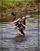 Water Dance (II) (gtncats) Tags: park lake nature water outside outdoors duck pond mallard mallardduck ef70300mm canon70d photographyforrecreation