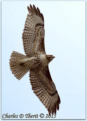 Red-tailed Hawk (ctofcsco) Tags: 1800s 1d 1div 400mm bird canon colorado coloradosprings ef200mmf2lisusm ef200mmf2lisusm20x eos1d eos1dmarkiv explore extender extender2x extender2xii f63 hawk inflight iso100 mark4 markiv raptor redtailedhawk supertelephoto teleconverter bokeh explored geo:lat=3893083779 geo:lon=10489145279 geotagged gleneyrie nature northamerica telephoto wildlife unitedstates usa animal outdoor ngc best wonderful perfect fabulous great photo pic picture image photograph