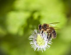 abeja en hierbabuena (Pere_olivella) Tags: macro bee abeja menta hierbabuena abella