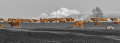 Have You Herd About Mt. Baker? (Zigstermeister) Tags: mt baker cows valley skagit herd