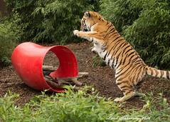 Startled....... (muppet1970) Tags: animal cat startled tiger bigcat surprised noise captive colchesterzoo amurtiger