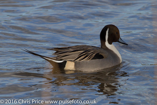 Pintail at WWT Slimbridge