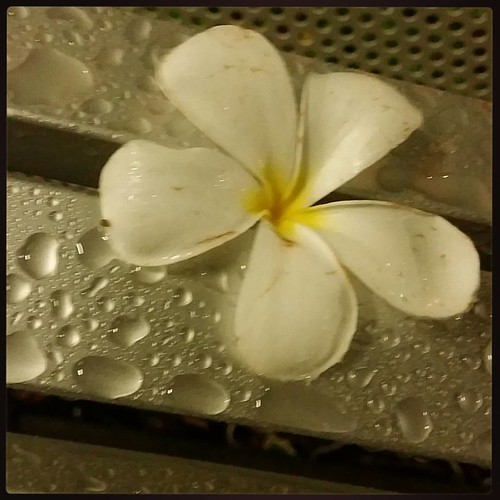 frangipani and rain that actually makes things wet ;)