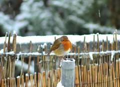 Snowy Robin (Michelle O'Connell Photography) Tags: winter bird nature robin garden scotland wildlife drumchapel gardenbird britishbird robininsnow glasgowwinter michelleoconnellphotography