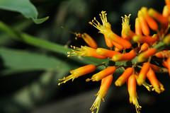 Aloe humilis   (ashitaka-f) Tags: orange flower yellow aloe humilis xanthorrhoeaceae