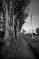 Poplars (Alexander Oleynik) Tags: road trees bw evening poplar