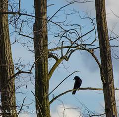 Urban Visitor (kcrowleyyork) Tags: crows gasworkspark