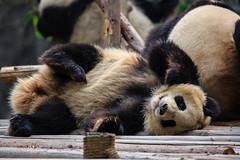 Panda (malaholic) Tags: china bear cute smile happy panda adorable belly cuddly chengdu endangered paws giantpanda sichuan playful furball pandabear lyingdown lovable ailuropodamelanoleuca giantpandabreedingresearchbase