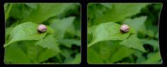 Leptinotarsa Juncta, False Potato Beetle Larva 2 - Cross-eye 3D (DarkOnus) Tags: macro closeup insect lumix stereogram 3d crosseye pennsylvania beetle panasonic stereo potato stereography buckscounty larva false oof oob leptinotarsa crossview ttw juncta dmcfz35 darkonus