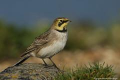 Shorelark (Eremophila alpestris).. (Sandra Standbridge.) Tags: sky bird beach rock coast kent outdoor shoreline scarce shorelark eremophilaalpestris wildandfree
