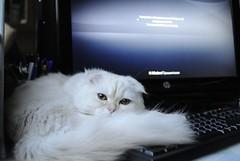 Upgrade to Windows 10, HWW (Mary-Franky) Tags: windows white cat computer martin windowwednesdays