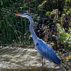 SanJoaquinWildlife-8 (rskim119) Tags: blue lake bird heron nature water animal landscape pond nikon san wildlife great reserve joaquin marsh tamron preserve sanctuary irvine shorebird 70300 irwd d3300