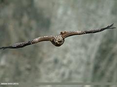 Black Kite (Milvus migrans) (gilgit2) Tags: pakistan birds fauna canon geotagged wings wildlife feathers sigma tags location milvusmigrans species hunza category avifauna aliabad blackkitemilvusmigrans gilgitbaltistan sigma150500mmf563apodgoshsm imranshah canoneos70d gilgit2