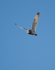 suopöllö (Raimo Mikkonen) Tags: pöllö shortearedowl asioflammeus suopöllö lennossa jorduggla