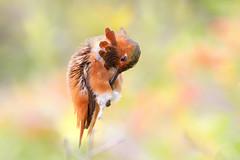 Jewel! (bmse) Tags: california macro male canon is hummingbird allens 100mm southern l f28 salah 6d wingsinmotion bmse baazizi