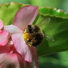 A Bee Hug (Pamela Jay) Tags: summer flower macro nature closeup garden insect flora hug wildlife australia squareformat nsw begonia pollen honeybee pollinate pollination 2016 pollinating insectphotography canon60d pamelajay