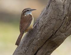 Carolina Wren (AllHarts) Tags: ngc npc carolinawren memphistn backyardbirds avianexcellence naturesspirit naturescarousel